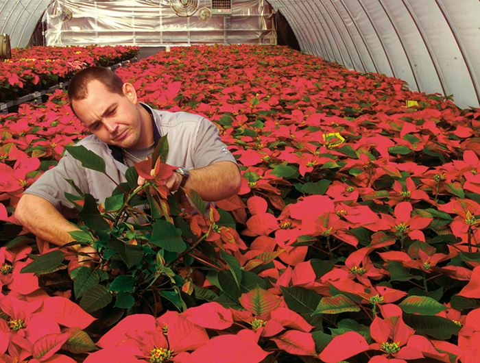 Landscaper in plant greenhouse with red poinsettias
