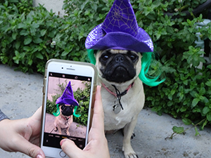 Pug with a wizard's hat and green wig.